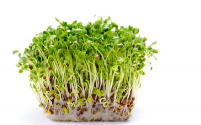 Alfalfa Sprouts – Wholefood Medicine